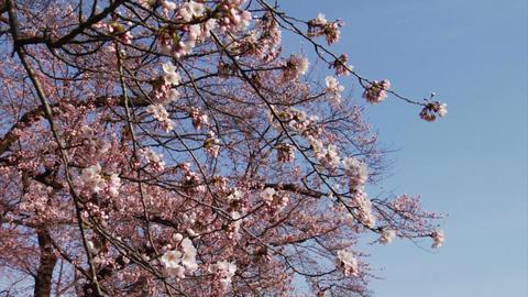 Images Sakura Stock Video Footage