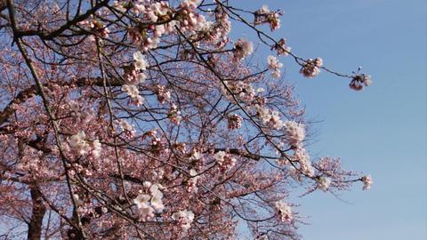 Images Sakura Footage