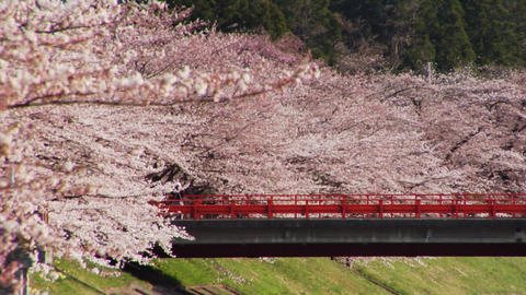 Cherry Blossoms And Bridge Stock Video Footage