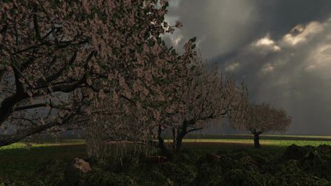 1018 Spring Rain Storm Cherry Tree Grove Lightening Stock Video Footage