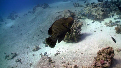 Napoleon fish on Coral Reef, Red sea Stock Video Footage
