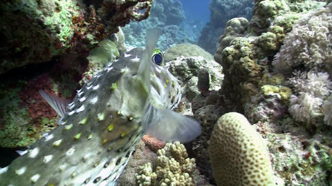 Pufferfish on Coral Reef, Red sea Stock Video Footage