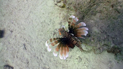 African lionfish on Coral Reef, Red sea Stock Video Footage