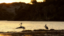 Pelicans on the Moore River at Sunset Stock Video Footage