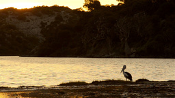Pelicans on the Moore River at Sunset Footage