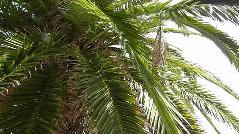 Palm tree swaying in the breeze Footage