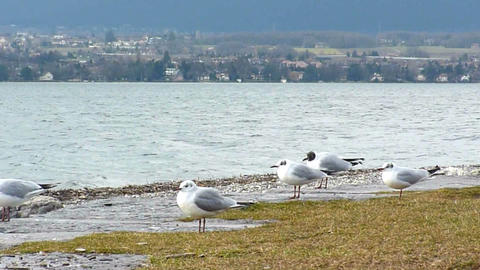 Many seagulls standing and flying on the shore Stock Video Footage