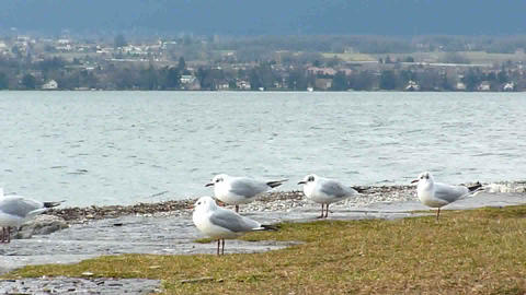 Many seagulls standing and flying on the shore Footage