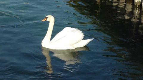 Swan on the lake Stock Video Footage