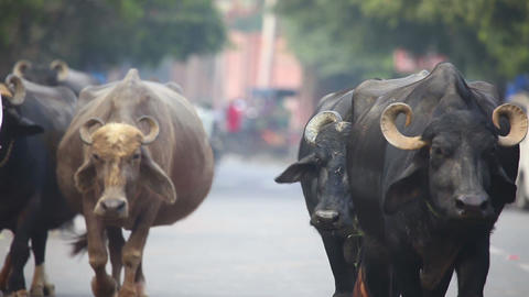 Indian Buffalos Stock Video Footage