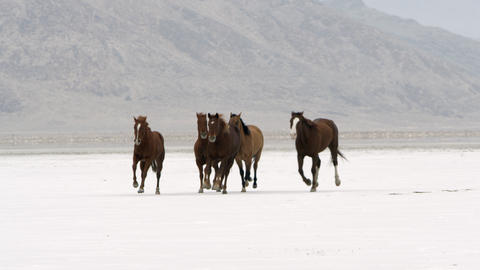 Panning view of horses running on salt flats Live Action