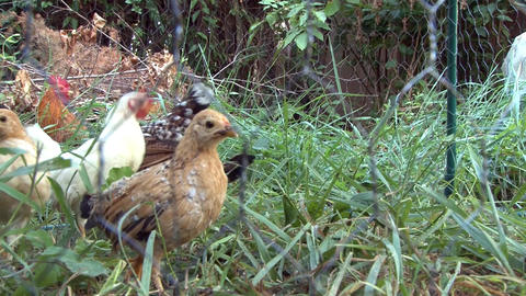 Hen and chickens are locked in a cage with wire mesh to protect them from predat Footage