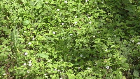 White flower Fragaria vesca Footage