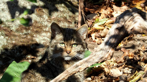 European Wild Cat (Felis silvestris) watching the camera Footage