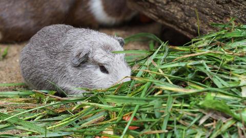 Guinea pig eats green grass Footage