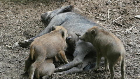 Wild boar piglets feeding on female pigs teat Live Action