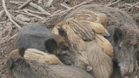 Wild piglets sleeping together wide shoot Footage