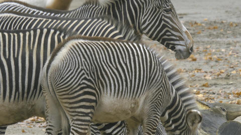 A few zebras standing around in 10bit HDR / HLG Live Action