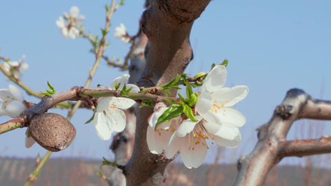 Almond nut and white flowers - ripeness & freshness concept Stock Video Footage