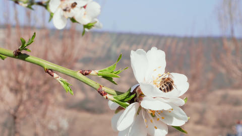 Bees pollinating almond white flowers - springtime concept Footage