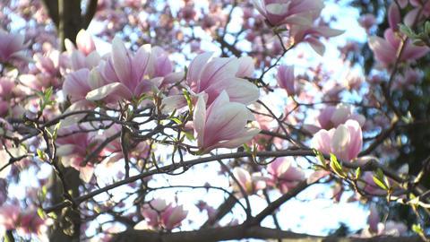 Magnolia blossom on branch Footage
