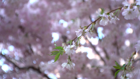 Cherry tree branch with pink flowers blossoming on it GIF