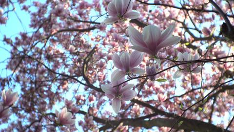 Chinese magnolia blossom close GIF