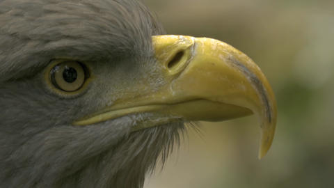 Close up of eagles head from eye to tip of beak, it looks around 10bit HDR / HLG Footage