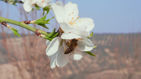 Close-up of bee pollinating almond white flower in orchard Footage