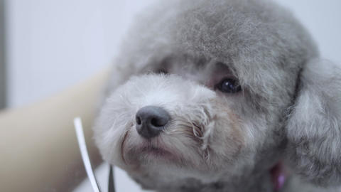 Grooming a little dog in a pet salon. Beautiful poodle. Adorable dog in barber Live Action