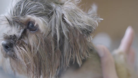 Professional pet groomer making to fluffy wet cute dog haircut with scissors Footage