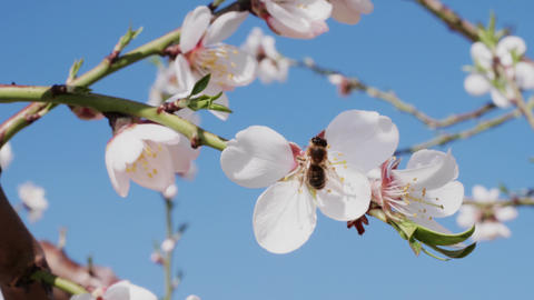 Bee pollinating white almond flower and flying away, closeup Footage