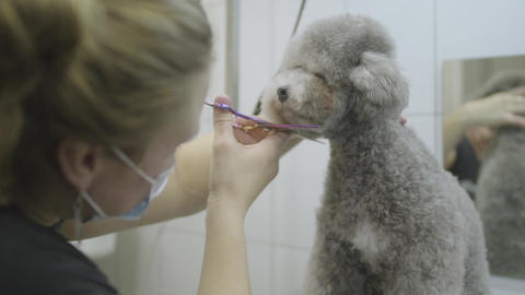 Pofessional pet groomer making to fluffy little cute dog haircut with scissors Footage