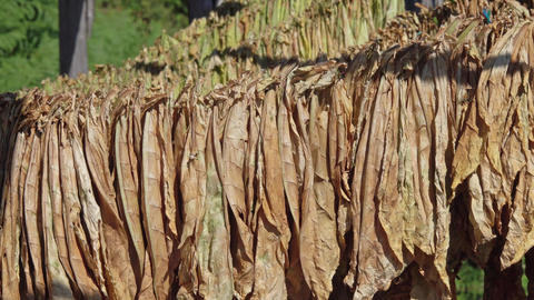 Tobacco leaves hang and dry in a wooden shed Footage