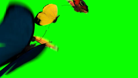 [alt video] Butterflies Fly on a Green Background