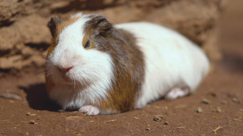 Cute Guinea pigs (Cavia Porcellus). Close up cinematic 4k clip Footage