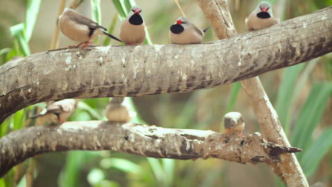 Small Cute birds, finchs birds on the tree branch. Slow motion clip Live Action