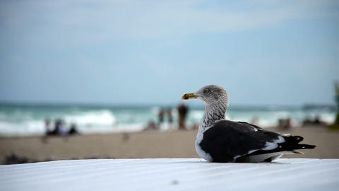 Seagull resting by the sea in Miami Beach. Southern Florida, USA Footage