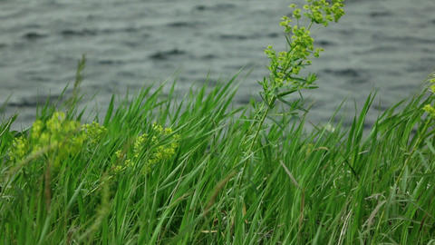 grass sways in the wind with lake waves at background 01 Footage