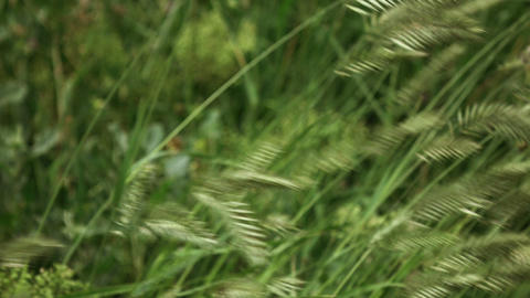 grass sways in the wind 4K Footage