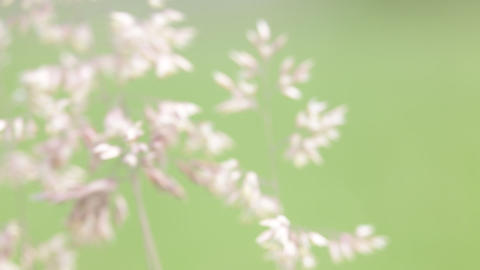 Abstract background of cereal plant 0004 ビデオ