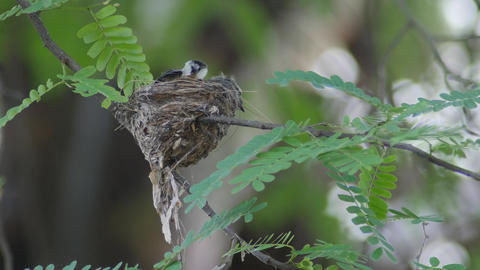 baby birds getting fed by their mother Footage
