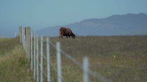 Beautiful cow grazes near the fance Footage