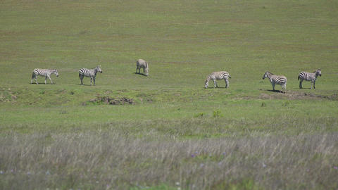 Five zebras eating grass on a sunny spring day Live Action