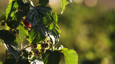 Close up of green and ripe raspberries on bush Footage
