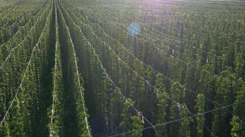 Aerial - Cultivation of hop plant Footage