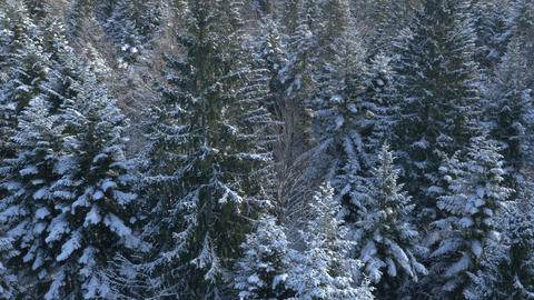 Aerial - Rising above snow-covered pine trees Footage