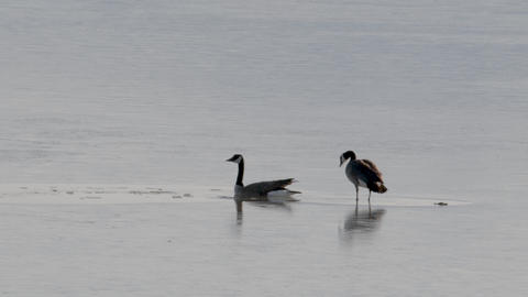Pair of geese braking the ice GIF