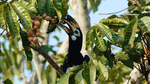 Oriental pied Hornbill Live Action