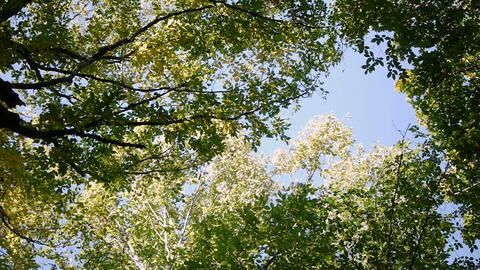 Treetops sky. View of sunny tall treetops rotation on place in the forest. slow Footage